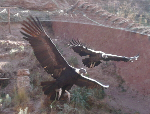 Condors at the Animal Rescue Centre, near Cuzco - click to see more on Flickr