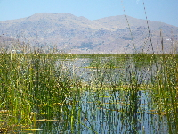 Reeds at Lake Titicaca, with the mountains in the background