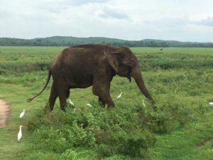 Solo Bull Elephant at Kaudulla National Park