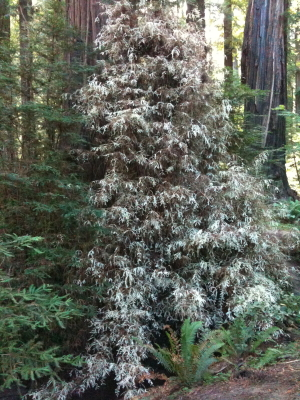 Albino outgrowth at foot of Redwood