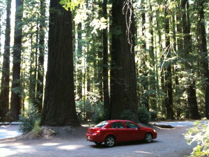 Hire car at foot of Giant Redwoods